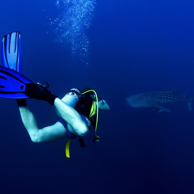 """A diver dives down to a whale sharks cruising in the rich blue of the ocean"" stock image"