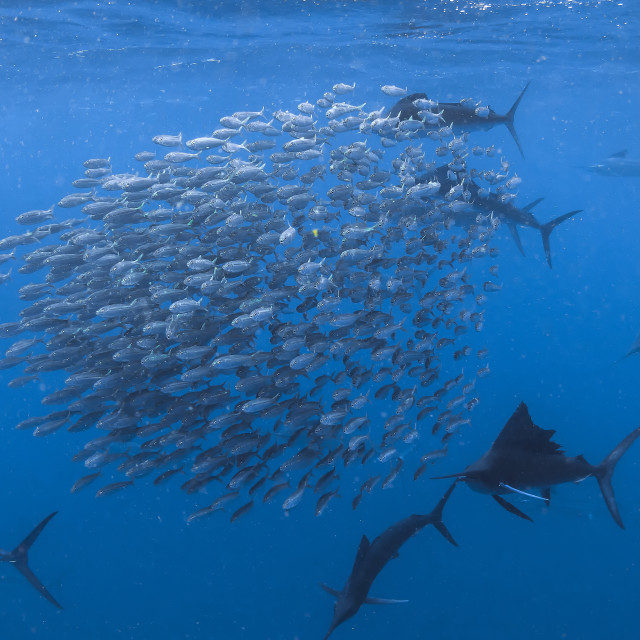 """Sailfish circling a ball of sardines preparing to strike."" stock image"