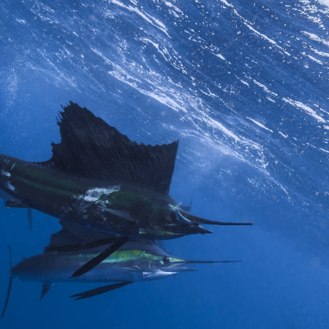 """A Sailfish with a sardine in hits mouth"" stock image"