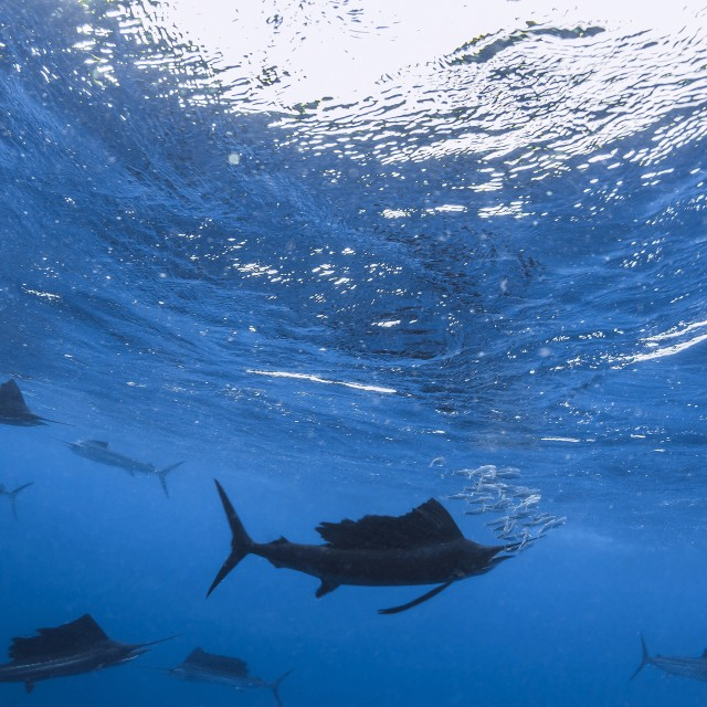 """Sailfish circling the last sardines of a baitball preparing to strike."" stock image"