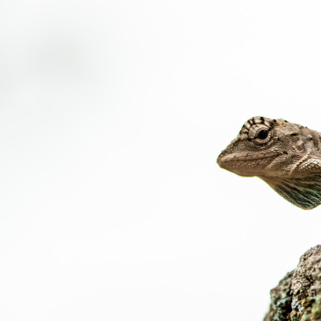 """Flying lizard"" stock image"