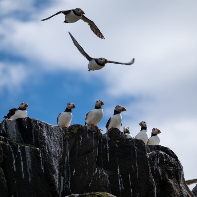 """Atlantic Puffins Taking Off"" stock image"