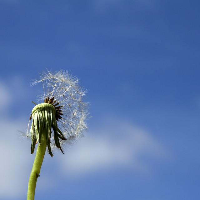 """Dandelion against a blue sky"" stock image"