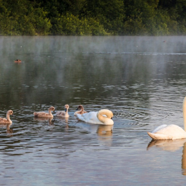 """Family Swan Ventures Out"" stock image"