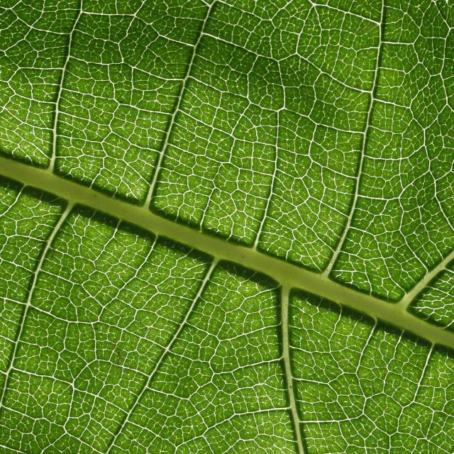 """Leaf Veins"" stock image"