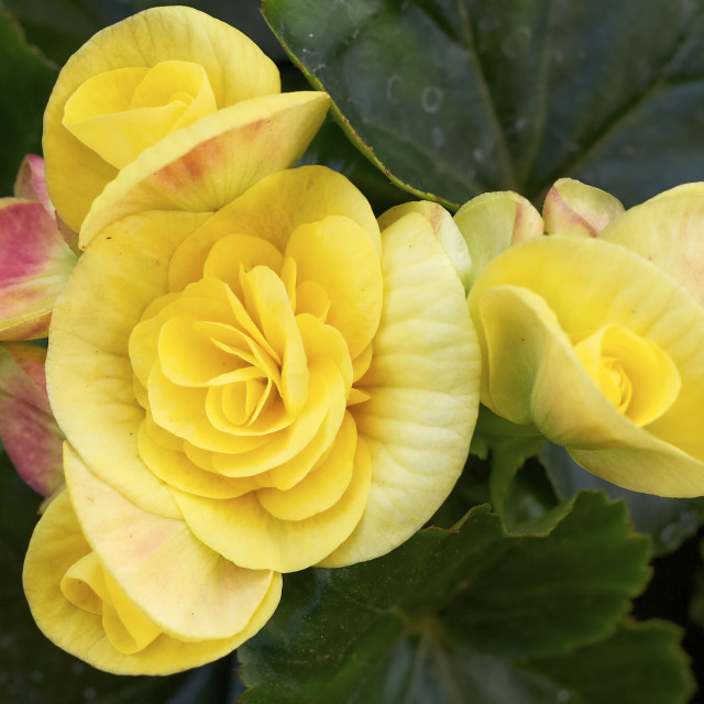 """yellow begonia flowers close-up"" stock image"