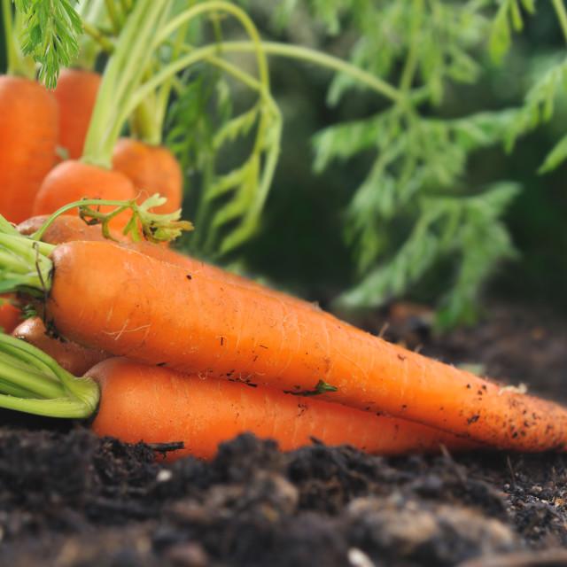 """""""carrots in garden soil"""" stock image"""