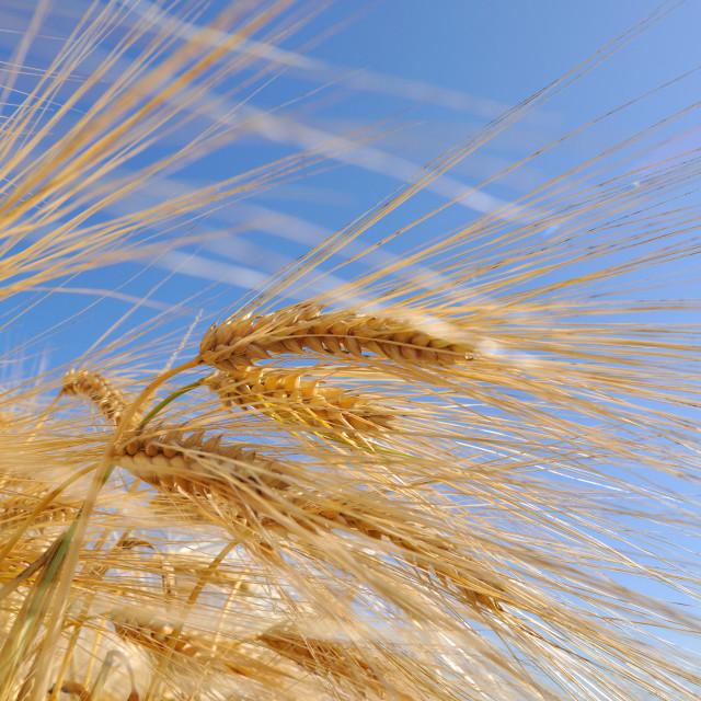"""corn of barley"" stock image"