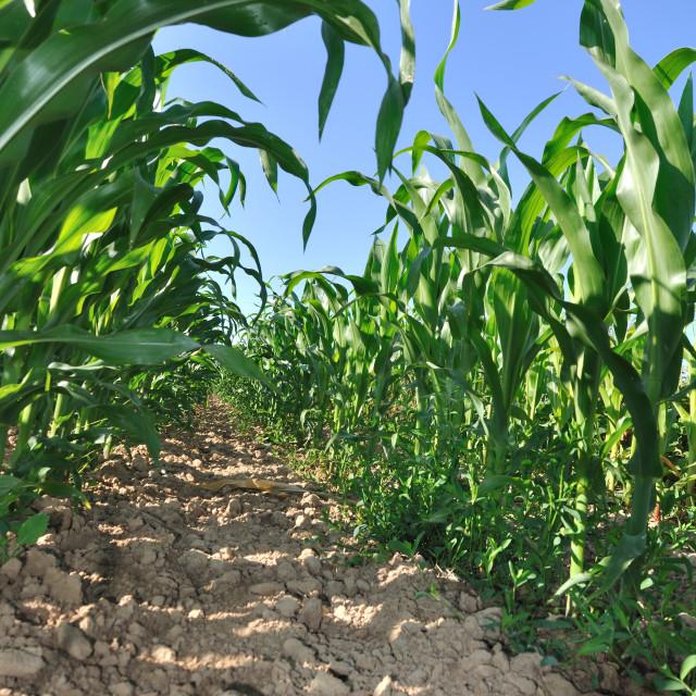 """foeld of maize"" stock image"