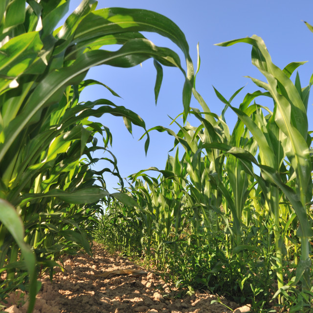 """""""field of maize"""" stock image"""