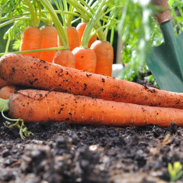 """carrots on the soil"" stock image"
