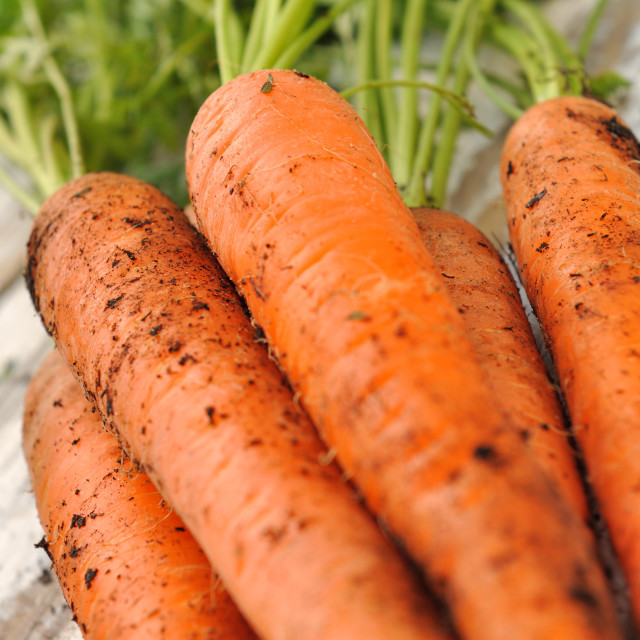 """carrots from garden"" stock image"