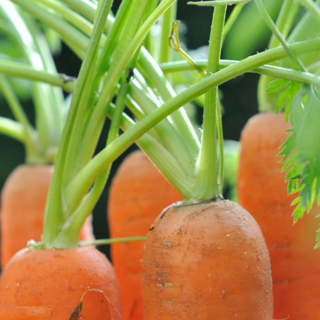 """""""carrots in garden"""" stock image"""
