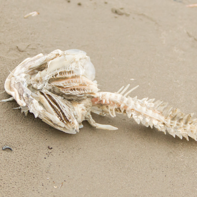"""Decomposing dead fish carcass"" stock image"