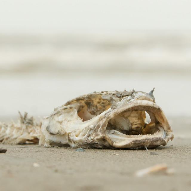 """Decomposing dead fish carcass"" stock image"