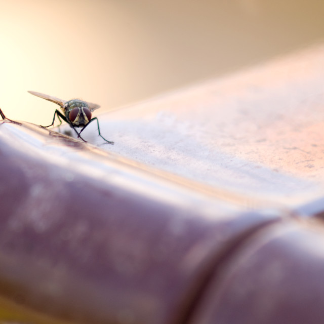 """""""House Fly"""" stock image"""