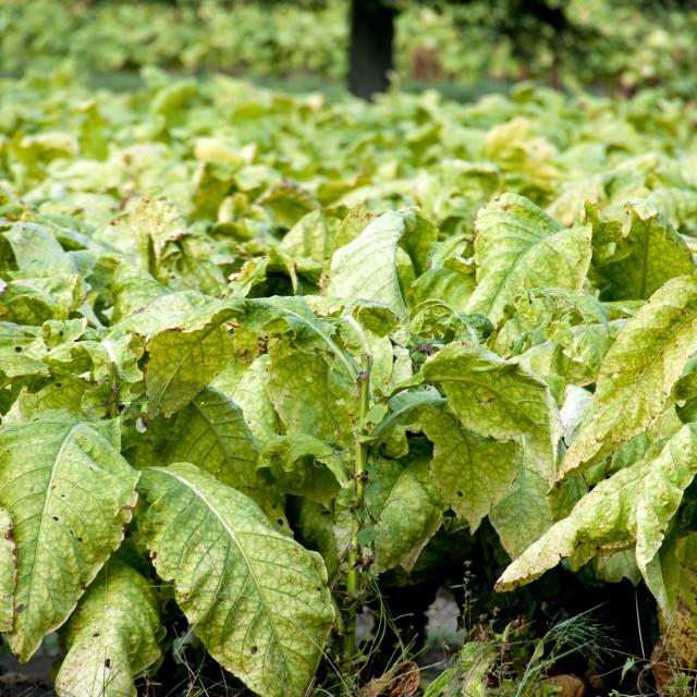 """Tobacco Field"" stock image"