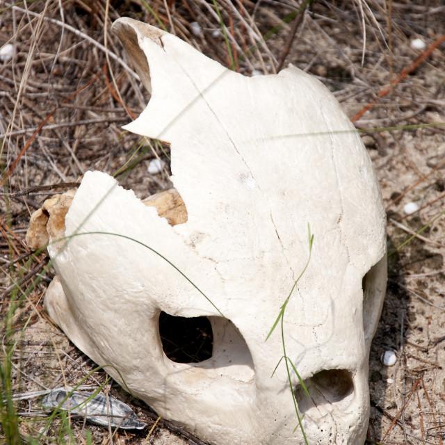 """""""Sea Turtle Skull"""" stock image"""