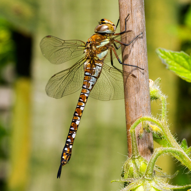 """Migrant Hawker Dragonfly"" stock image"