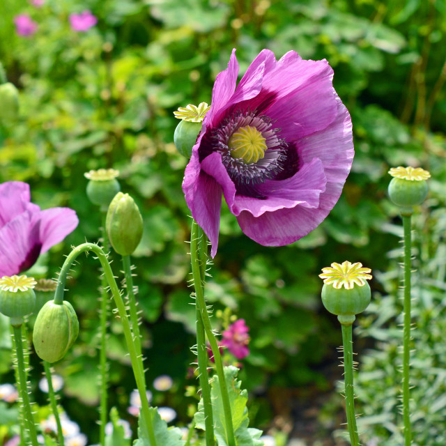 """""""Three stages off poppy"""" stock image"""