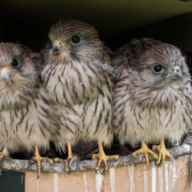 """Kestrel Chicks"" stock image"