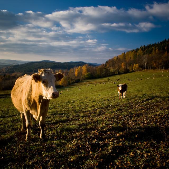 """Czech cows"" stock image"