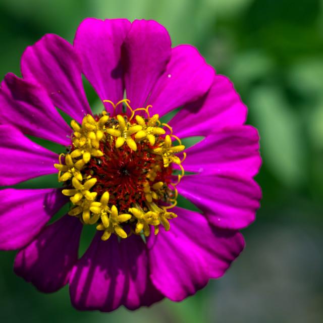 """Purple zinnia flower #1"" stock image"