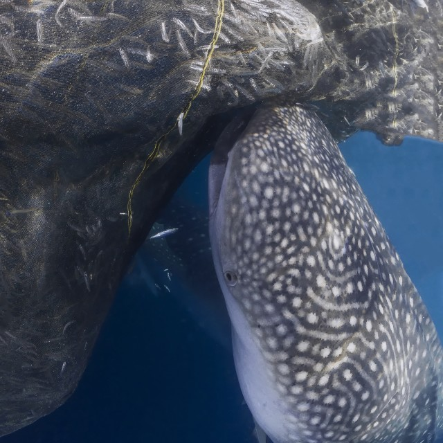 """One whale sharks sucking the net of a fisherman platform called Bagan."" stock image"