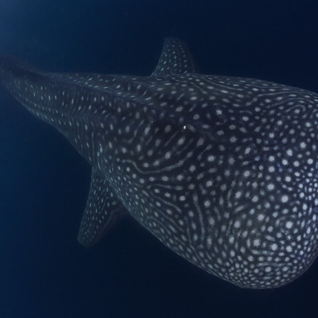 """Whale shark cruising the deep blue of the ocean"" stock image"