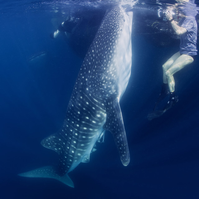 """One whale sharks surfacing to feed right next to a diver."" stock image"