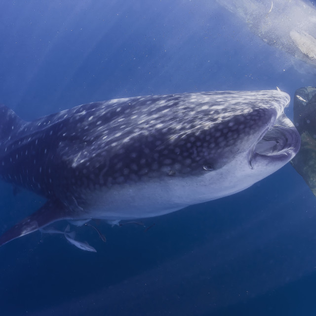 """whale shark feeding on the surface"" stock image"