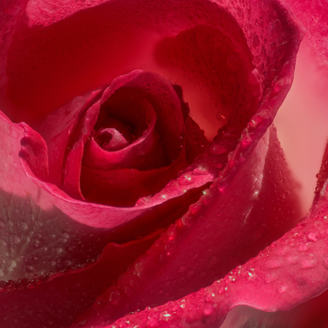 """Rose colour"" stock image"