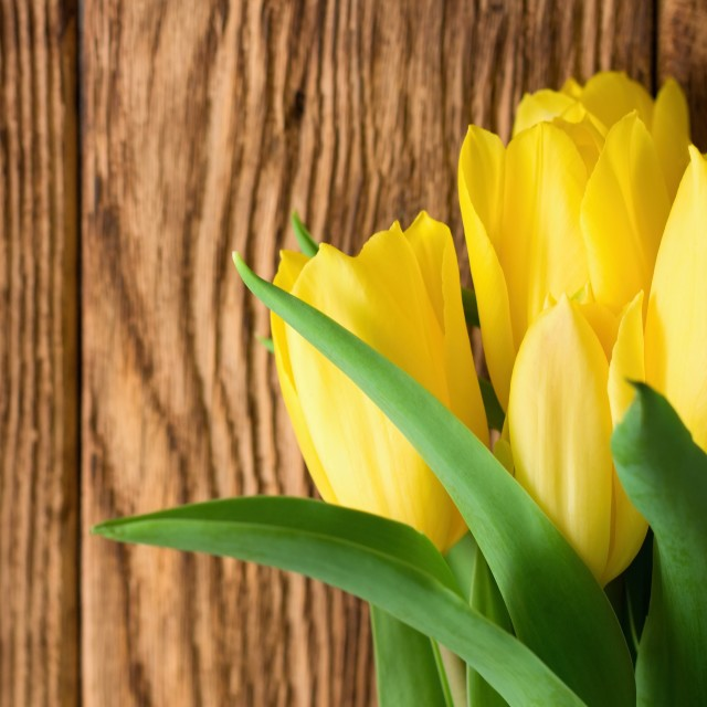"""Vibrant yellow tulips in front of wooden board"" stock image"
