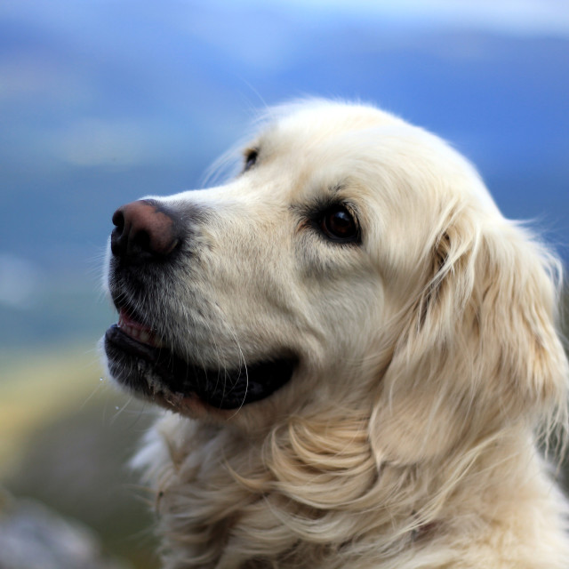"""Golden Retriever"" stock image"