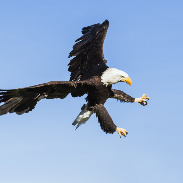 """""""Bald eagle ripping through the sky"""" stock image"""