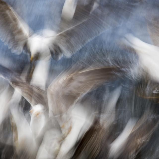"""Gull Feeding Frenzy"" stock image"