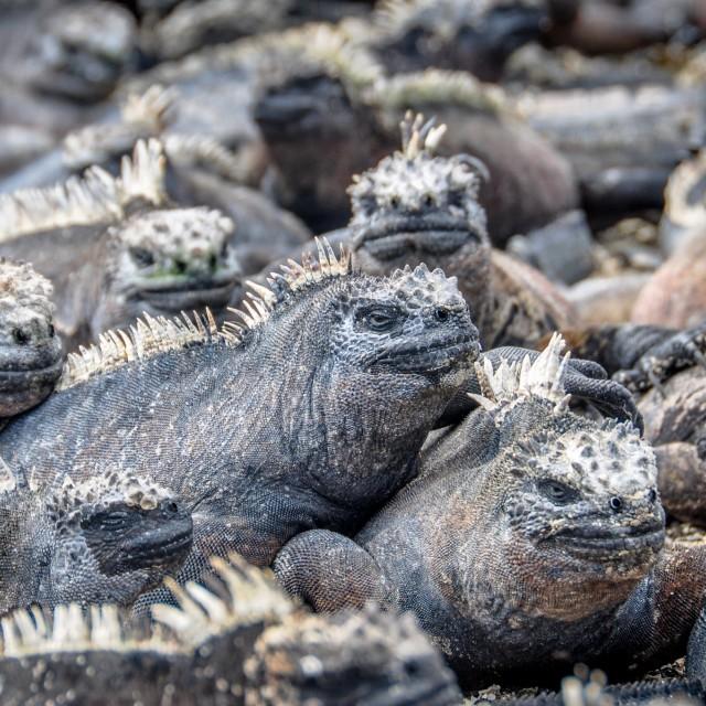 """""""Galapagos Iguanas"""" stock image"""