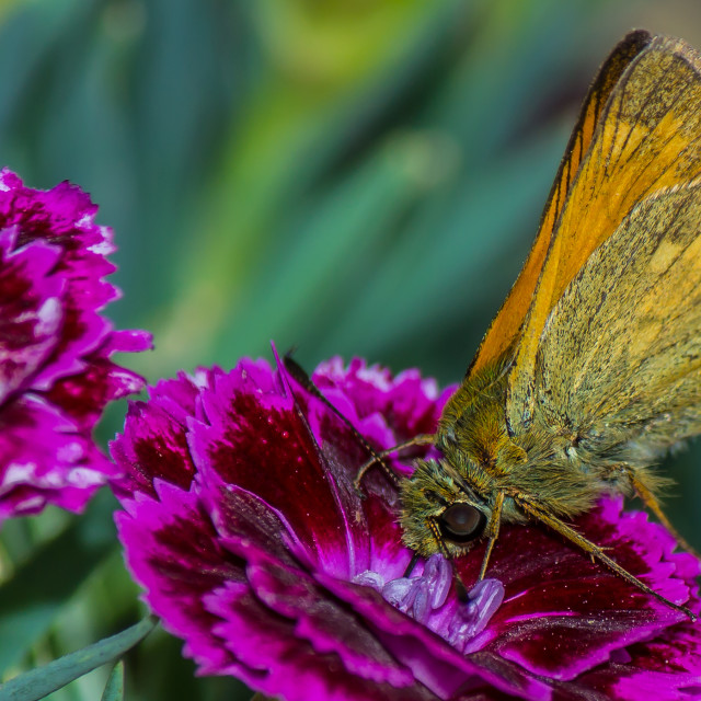 """""""Hungry butterfly"""" stock image"""