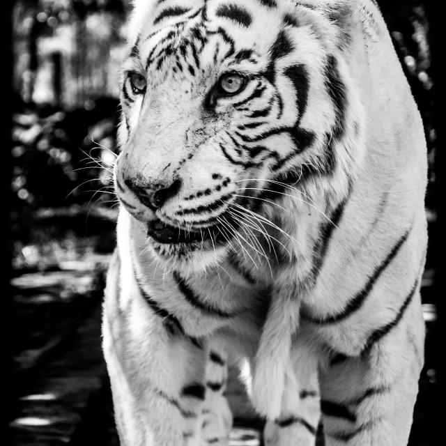 """Black & White tiger"" stock image"