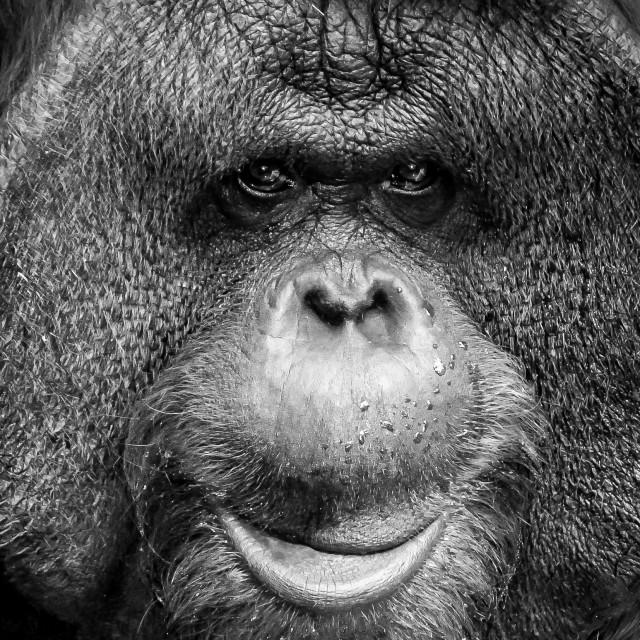 """""""Orang Utan in Captivity"""" stock image"""