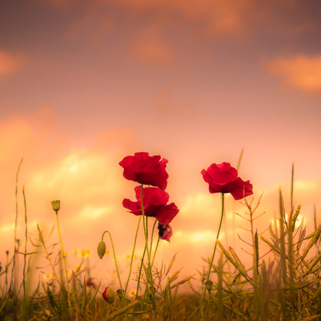 """Poppy Sky"" stock image"