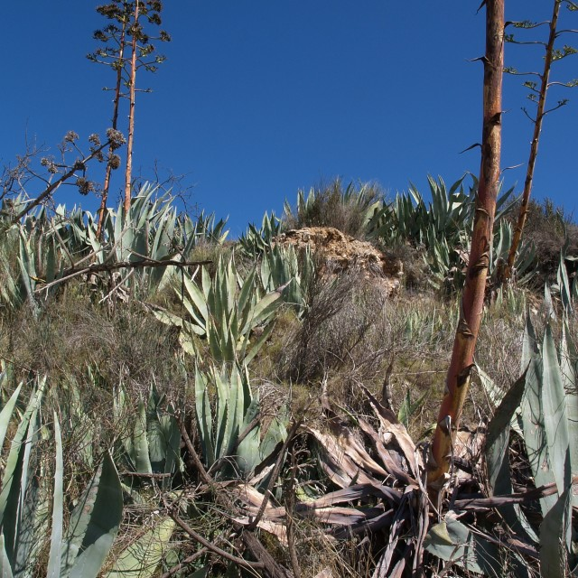 """""""Agave"""" stock image"""
