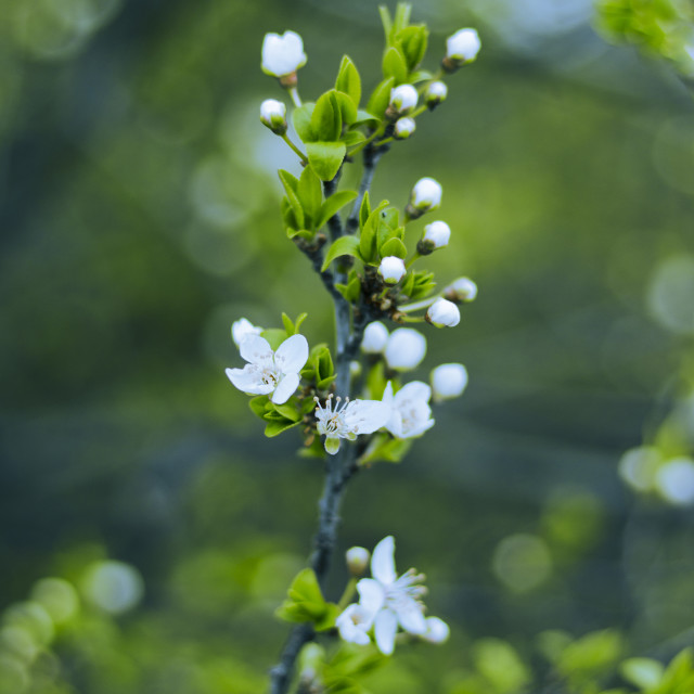 """blossoming branch"" stock image"