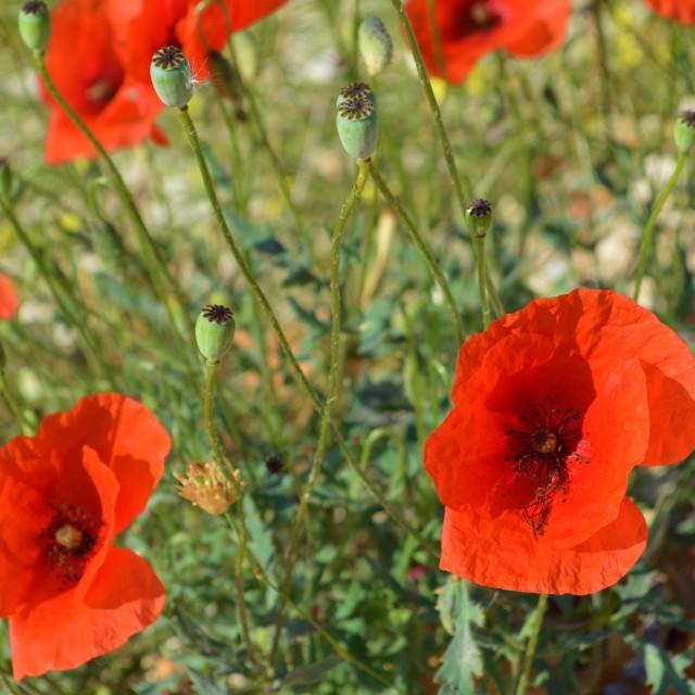 """""""Red Poppy (Papaver rhoeas)."""" stock image"""