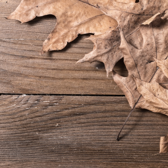 """Oak Leaves"" stock image"