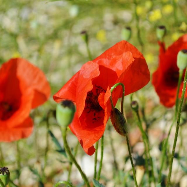 """Red Poppies (Papaver rhoeas)."" stock image"