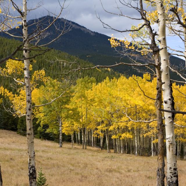 """Aspens Colorado"" stock image"