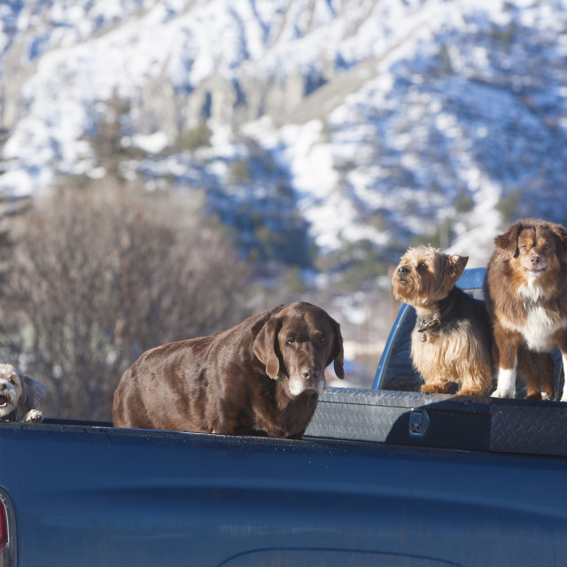 """""""Dogs waitin g for their owner in Ridgeway, Colorado."""" stock image"""