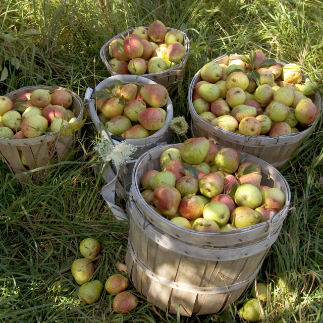 """Pear Harvest"" stock image"