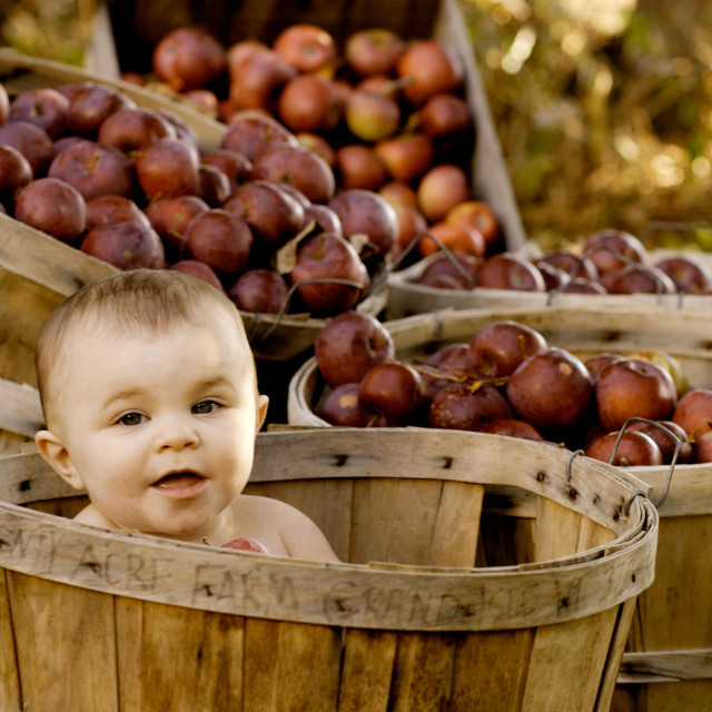"""Baby girl in a apple basket at the Twenty Acre Farm in Grand Isle, Vermont."" stock image"